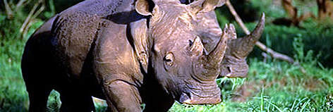 The white rhino is particularly vulnerable to hunting, because it is relatively unaggressive and ... rel=