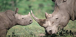Adult and calf white rhino. / ©: WWF-Canon / Martin HARVEY