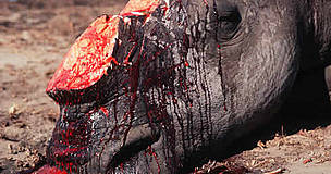 White rhino killed by poachers for horn. / &copy;: WWF-Canon / Martin HARVEY