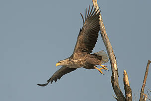 White-tailed eagle. 
