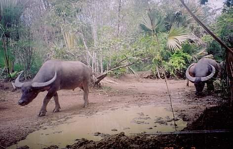 Wild Water Buffalo | WWF | 472 x 303 jpeg 31kB