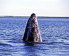 Critically endangered Gray whale (<i>Eschrictius robustus</i>).
