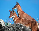 Ethiopian wolf (&lt;I&gt;Canis simensis&lt;/I&gt;), Bale Mountains National Park, Ethiopia.&lt;BR&gt;