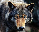 Close up of a wolf looking into the camera