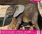 หลังจาก 22 เดือนหรือกว่า 1,000,000 นาทีในท้องแม่ ลูกช้างแรกเกิดจะมีน้ำหนักอยู่ที่