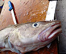 Illegal fishing leads to cod masssacre