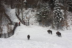 the second release of five European bisons in Vanatori - Neamt Nature Park which is the beginning of the reintroduction of the species in the Carpathian Mountains.