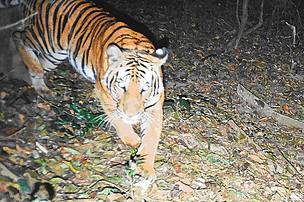 Camera trap of a tiger in Kayah Karen Tenasserim ecoregion