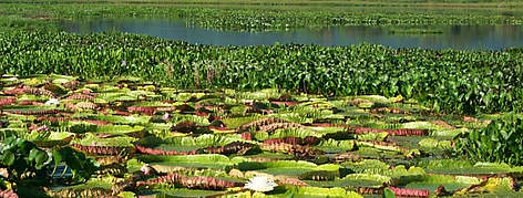 Floating <i>Victoria amazonica</i> at Pantanal ecoregion. rel=