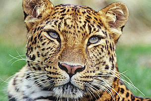 Amur leopard (Panthera pardus orientalis) / &copy;: David Lawson / WWF-UK
