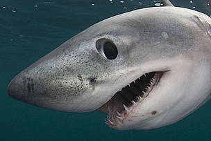 Porbeagle shark (Lamna nasus) Nova Scotia, Canada / &copy;: naturepl.com /Doug Perrine / WWF