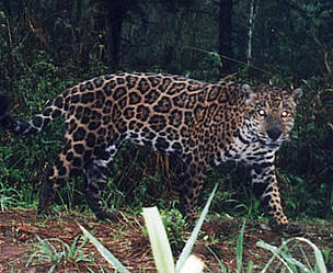 Jaguar captured on film by a camera trap in the Upper Paran Atlantic Forest, Argentina / &copy;: Fundacion Vida Silvestre
