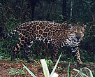 Jaguar captured on film by a camera trap in the Upper Paraná Atlantic Forest, Argentina