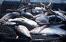 Yellowfin Tuna (&lt;i&gt;Thunnus albacares&lt;/i&gt;). The worlds tuna fisheries are worth around ... / &copy;: WWF-Canon / Hlne PETIT