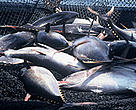 Yellowfin Tuna (<i>Thunnus albacares</i>). The world's tuna fisheries are worth around US$5.8 billion per year.