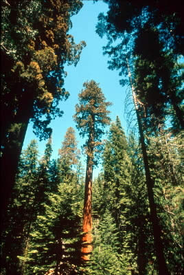 Giant redwood forest, Yosemite National Park, California, USA. / &copy;: WWF-Canon / Edward PARKER