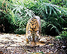A young tiger captured by camera trap in Bukit Betabuh Protection Forest.