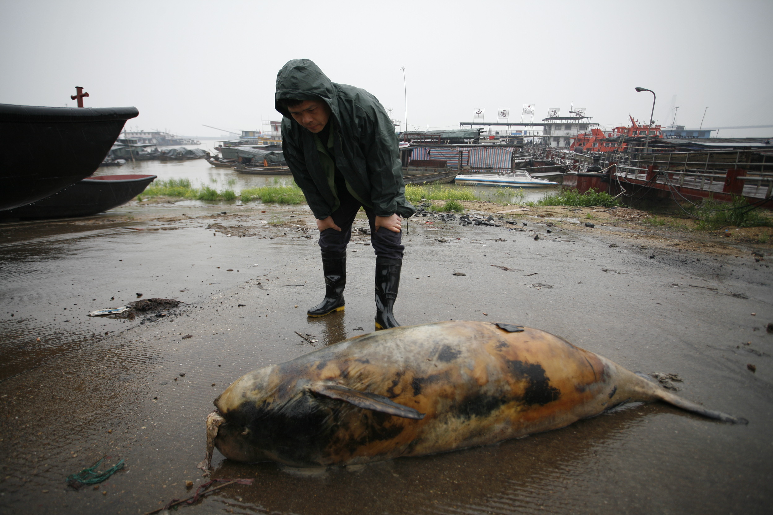 Yangtze finless porpoise population nosedives to 1,000